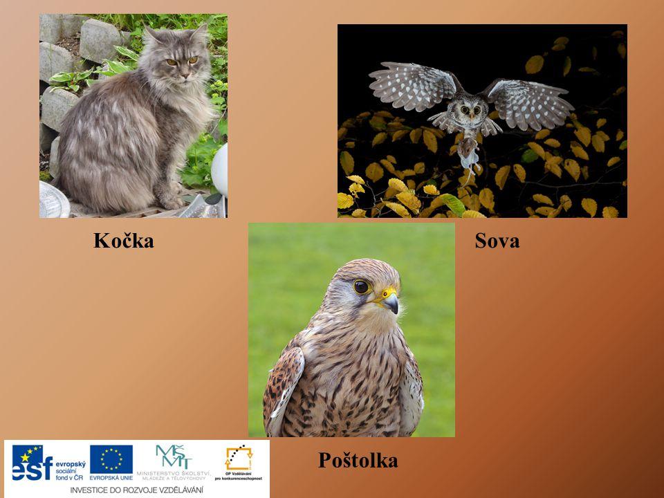 Poštolka KočkaSova