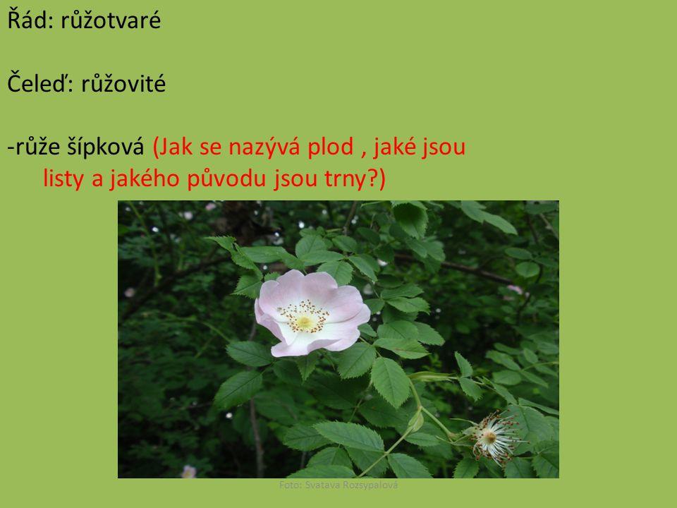 Řád: růžotvaré Čeleď: růžovité -růže šípková (Jak se nazývá plod, jaké jsou listy a jakého původu jsou trny?) Foto: Svatava Rozsypalová