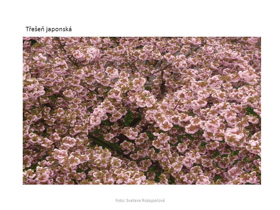 Třešeň japonská Foto: Svatava Rozsypalová