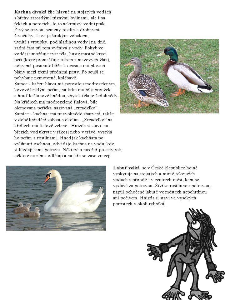 Kachna divoká žije hlavně na stojatých vodách s břehy zarostlými různými bylinami, ale i na řekách a potocích. Je to nekrmivý vodní pták. Živý se tráv