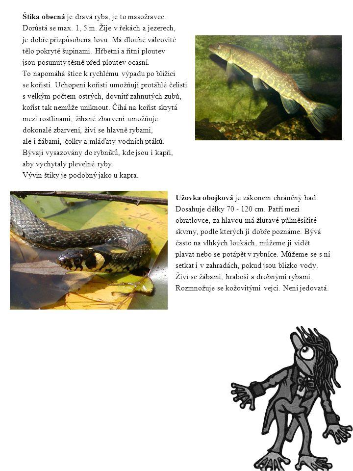 Štika obecná je dravá ryba, je to masožravec. Dorůstá se max. 1, 5 m. Žije v řekách a jezerech, je dobře přizpůsobena lovu. Má dlouhé válcovité tělo p
