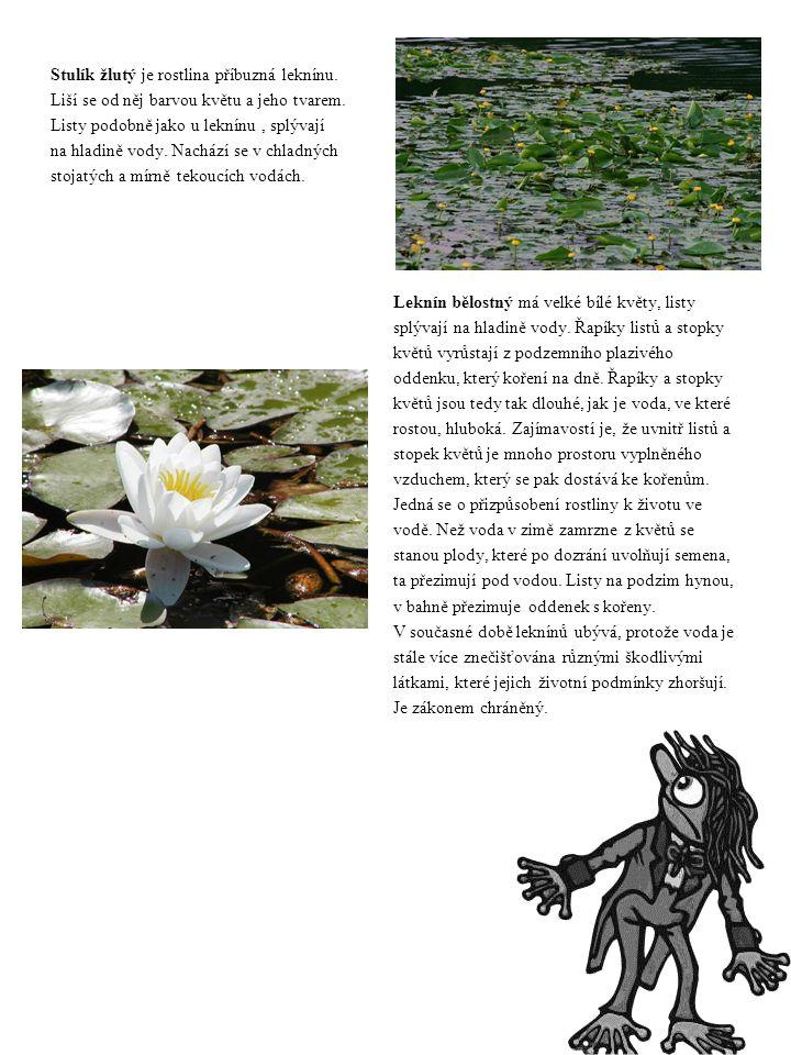 Stulík žlutý je rostlina příbuzná leknínu. Liší se od něj barvou květu a jeho tvarem. Listy podobně jako u leknínu, splývají na hladině vody. Nachází