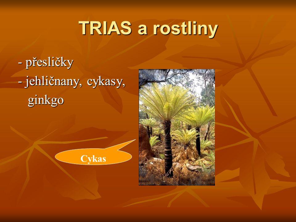 TRIAS a rostliny - přesličky - jehličnany, cykasy, ginkgo ginkgo Cykas