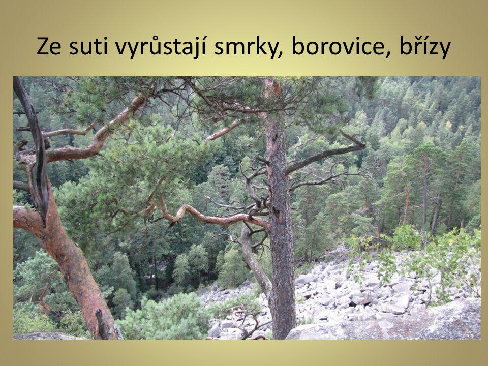 Ze suti vyrůstají smrky, borovice, břízy
