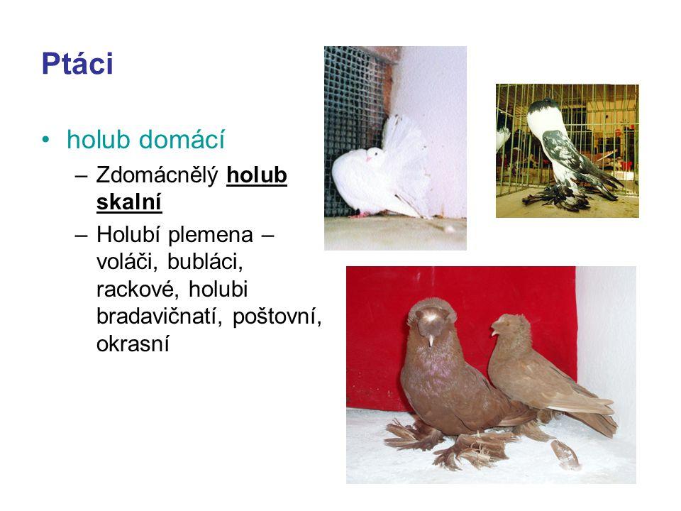 Ptáci holub domácí –Zdomácnělý holub skalní –Holubí plemena – voláči, bubláci, rackové, holubi bradavičnatí, poštovní, okrasní
