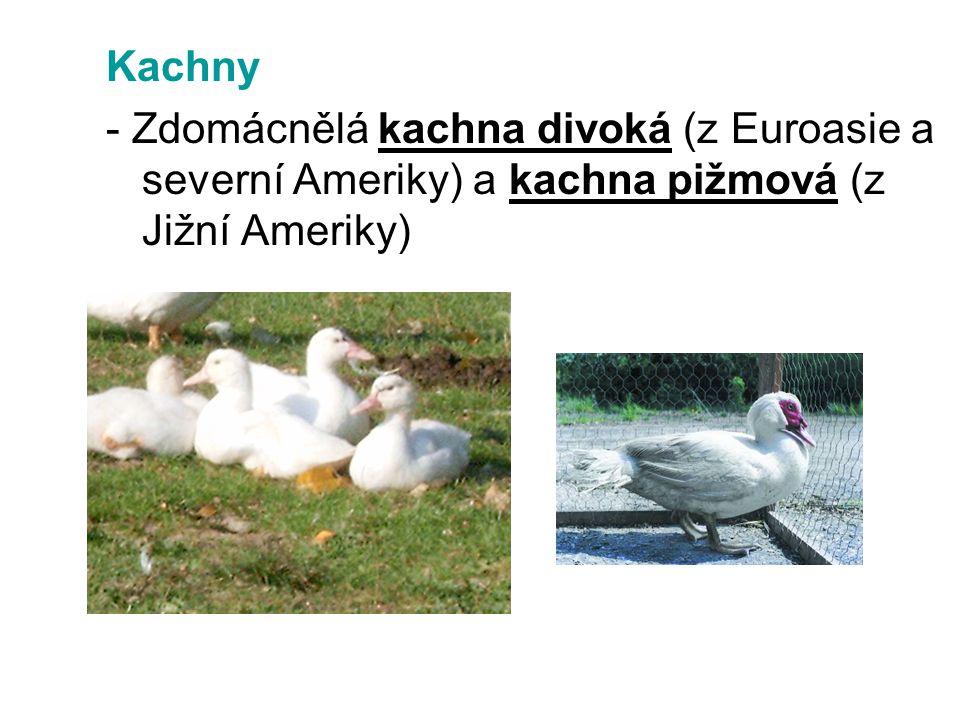 Kachny - Zdomácnělá kachna divoká (z Euroasie a severní Ameriky) a kachna pižmová (z Jižní Ameriky)