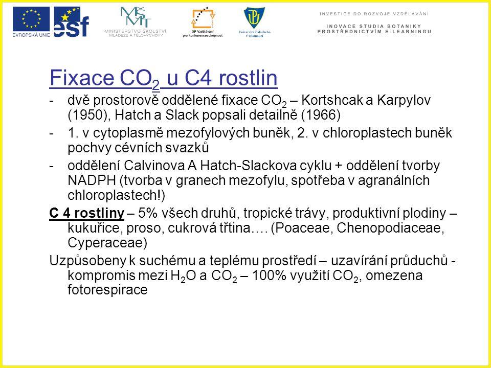 Fixace CO 2 u C4 rostlin -dvě prostorově oddělené fixace CO 2 – Kortshcak a Karpylov (1950), Hatch a Slack popsali detailně (1966) -1. v cytoplasmě me