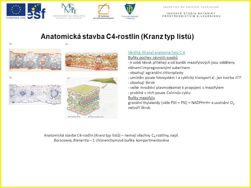 Anatomická stavba C4-rostlin (Kranz typ listů) Anatomická stavba C4-rostlin (Kranz typ listů) – nemají všechny C 4 rostliny, např. Borscowia, Bienerti