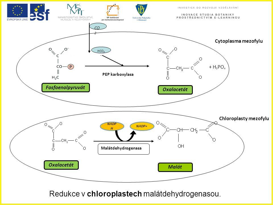 Redukce v chloroplastech malátdehydrogenasou. Fosfoenolpyruvát Oxalacetát Malát NADP H NADP+ Malátdehydrogenasa Oxalacetát Cytoplasma mezofylu Chlorop