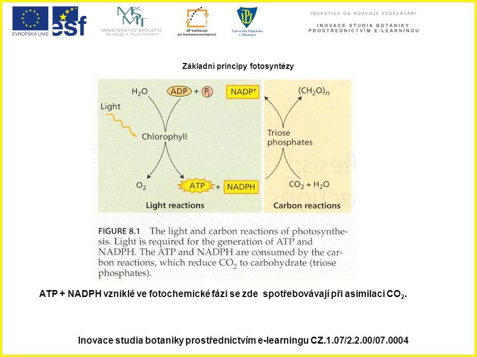 Základní principy fotosyntézy ATP + NADPH vzniklé ve fotochemické fázi se zde spotřebovávají při asimilaci CO 2.