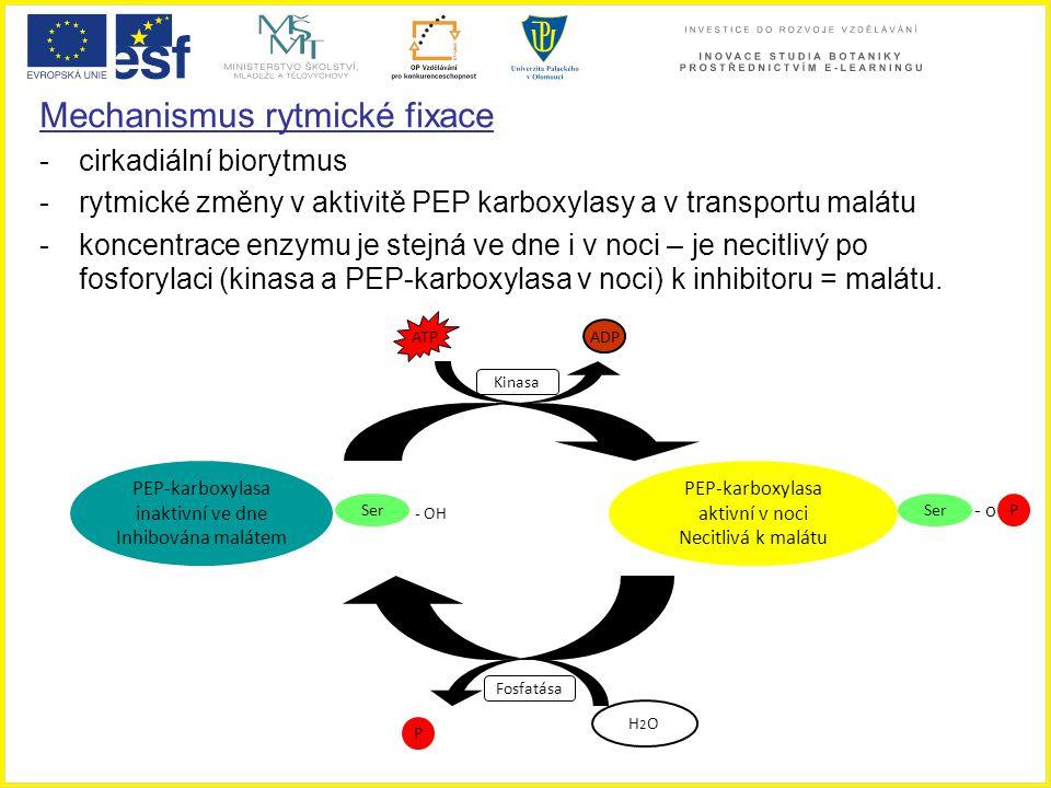 Mechanismus rytmické fixace - cirkadiální biorytmus -rytmické změny v aktivitě PEP karboxylasy a v transportu malátu -koncentrace enzymu je stejná ve
