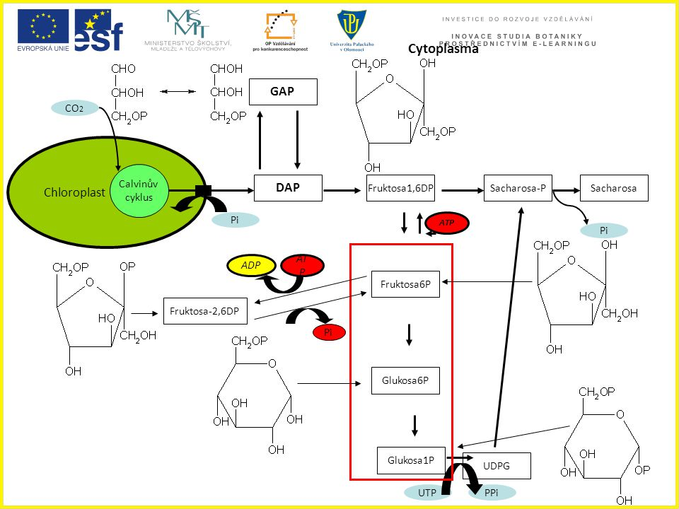 Chloroplast Calvinův cyklus DAP GAP Fruktosa1,6DP Fruktosa6P Glukosa6P Glukosa1P Sacharosa-PSacharosa UDPG UTPPPi Pi Cytoplasma CO 2 Fruktosa-2,6DP AD