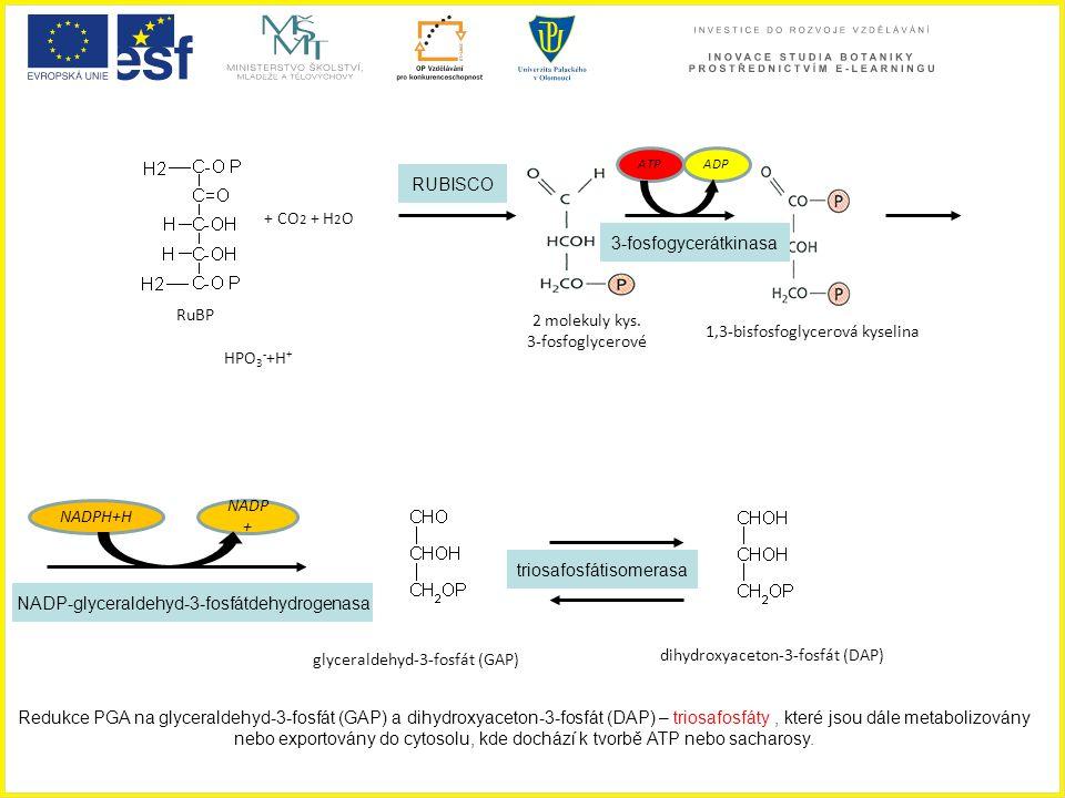 + CO 2 + H 2 O 2 molekuly kys. 3-fosfoglycerové RuBP 1,3-bisfosfoglycerová kyselina ADPATP glyceraldehyd-3-fosfát (GAP) dihydroxyaceton-3-fosfát (DAP)