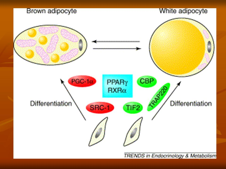 Způsob uvolnění tepla Pokud je hybernant vystaven chladu dochází k potřebě tvorby tepla Pokud je hybernant vystaven chladu dochází k potřebě tvorby tepla Vyplavuje se hormon noradrenalin, který způsobí štěpení hnědých tukových buněk Vyplavuje se hormon noradrenalin, který způsobí štěpení hnědých tukových buněk Lipolýzu aktivuje G-protein Lipolýzu aktivuje G-protein Uvolněná energie není přeměněna na ATP ale přímo na teplo Uvolněná energie není přeměněna na ATP ale přímo na teplo