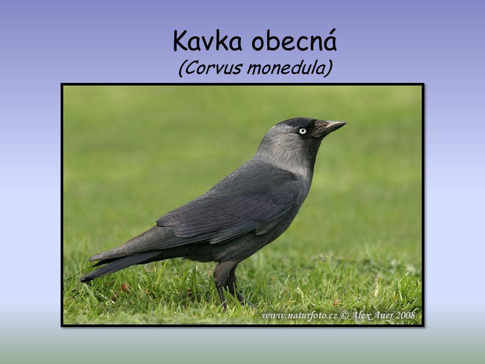 Vrána šedá - obecná (Corvus corone)  délka 45-50 cm, hmotnost 540-590 g  žije v zemědělských krajinách s lesy, parky  vyskytuje se stále a celoročně