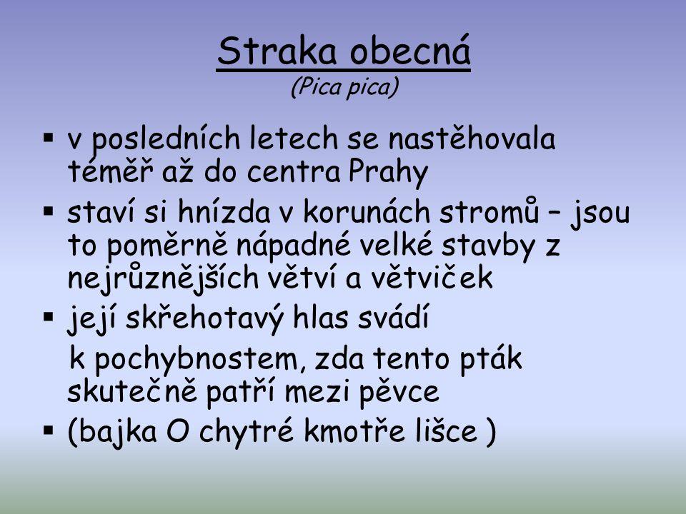  v posledních letech se nastěhovala téměř až do centra Prahy  staví si hnízda v korunách stromů – jsou to poměrně nápadné velké stavby z nejrůznější
