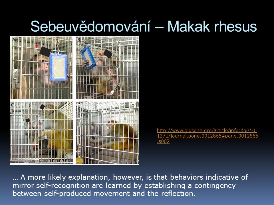 Sebeuvědomování – Makak rhesus … A more likely explanation, however, is that behaviors indicative of mirror self-recognition are learned by establishing a contingency between self-produced movement and the reflection.