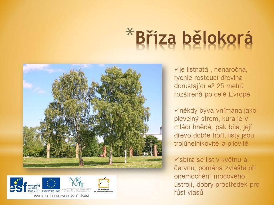 je listnatá, nenáročná, rychle rostoucí dřevina dorůstající až 25 metrů, rozšířená po celé Evropě někdy bývá vnímána jako plevelný strom, kůra je v mládí hnědá, pak bílá, její dřevo dobře hoří, listy jsou trojúhelnikovité a pilovité sbírá se list v květnu a červnu, pomáhá zvláště při onemocnění močového ústrojí, dobrý prostředek pro růst vlasů