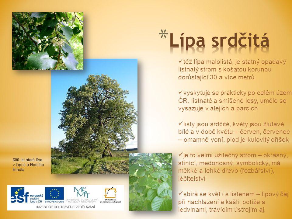 600 let stará lípa v Lipce u Horního Bradla též lípa malolistá, je statný opadavý listnatý strom s košatou korunou dorůstající 30 a více metrů vyskytu