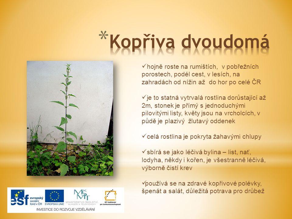 hojně roste na rumištích, v pobřežních porostech, podél cest, v lesích, na zahradách od nížin až do hor po celé ČR je to statná vytrvalá rostlina dorů