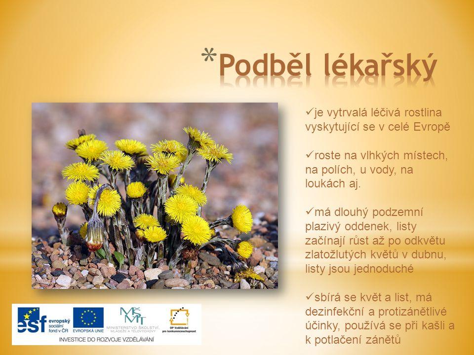 je vytrvalá léčivá rostlina vyskytující se v celé Evropě roste na vlhkých místech, na polích, u vody, na loukách aj. má dlouhý podzemní plazivý oddene
