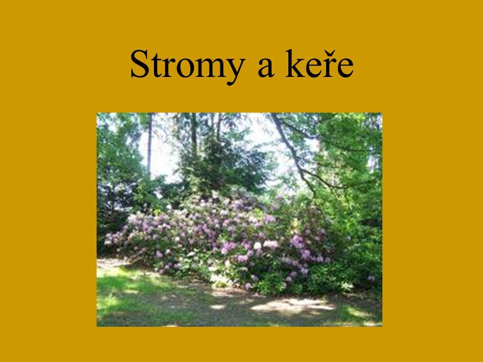 Smrk, Jedle, Borovice Picea, Abies, Pinus