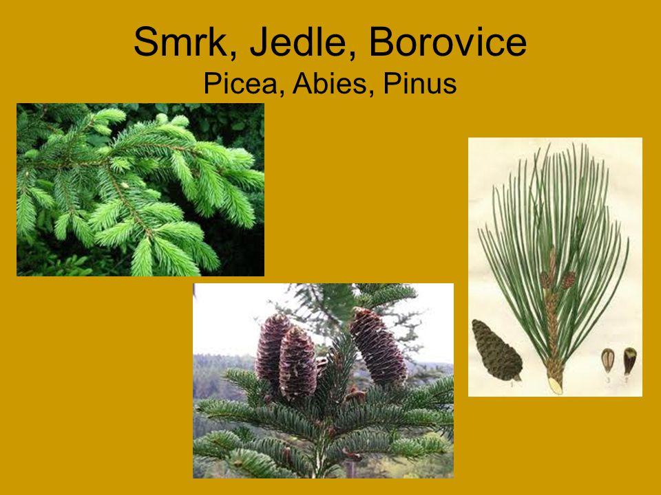 Bez černý Sambucus nigra Květen – červen: květy do polévky, smažené - kosmatice (příležitostně) Srpen – září: plody vaříme mírně osolené s ovocem na povidla, se zeleninou na pomazánky, výroba másla