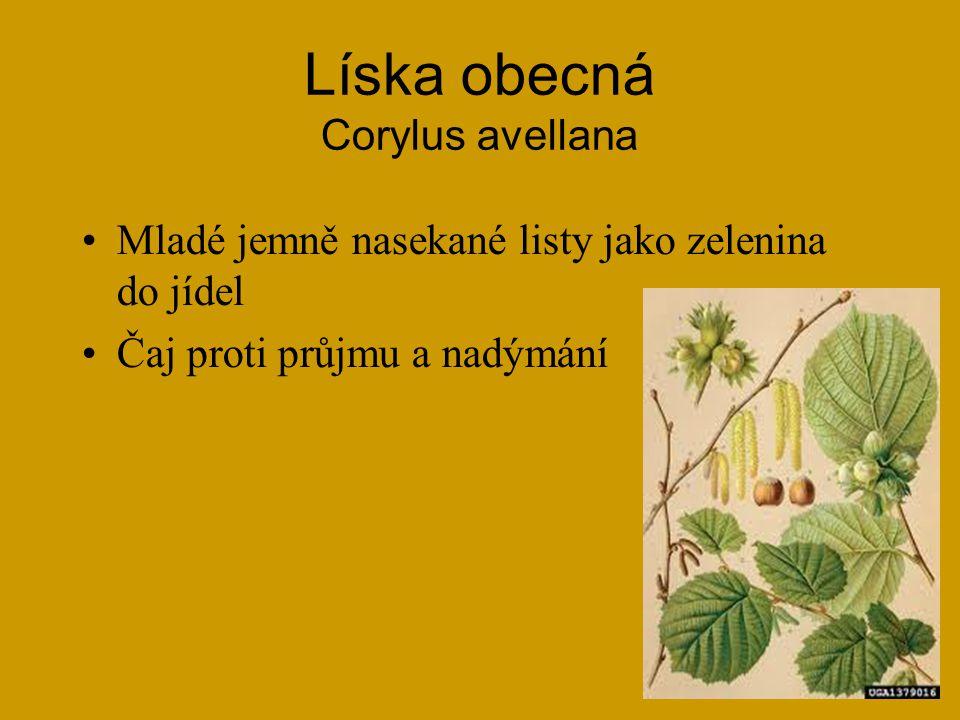 Javor babyka Acer campestre Listy na jaře do salátu (i javor klen - pseudoplatanus) a nakládané jako zelí