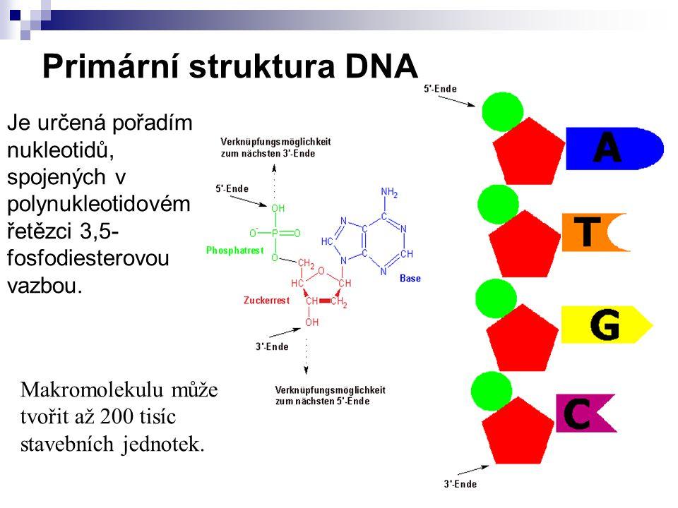 Primární struktura DNA Je určená pořadím nukleotidů, spojených v polynukleotidovém řetězci 3,5- fosfodiesterovou vazbou.