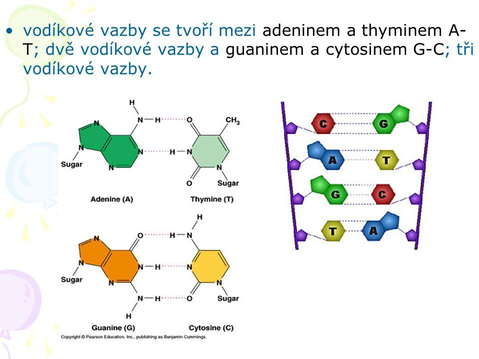 vodíkové vazby se tvoří mezi adeninem a thyminem A- T; dvě vodíkové vazby a guaninem a cytosinem G-C; tři vodíkové vazby.