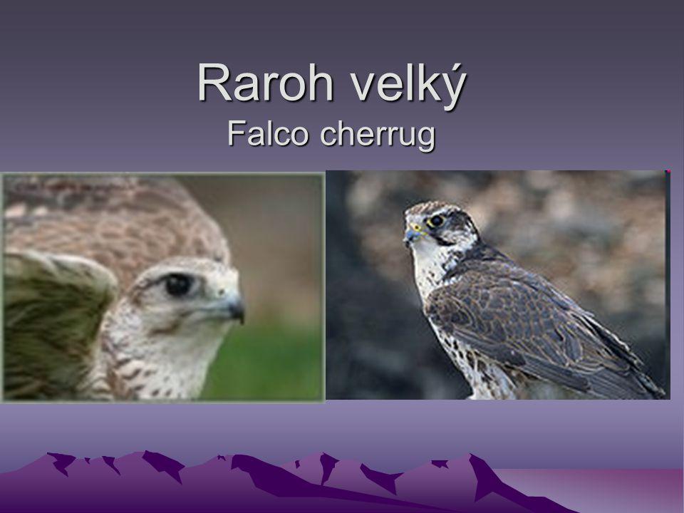 Raroh velký Falco cherrug