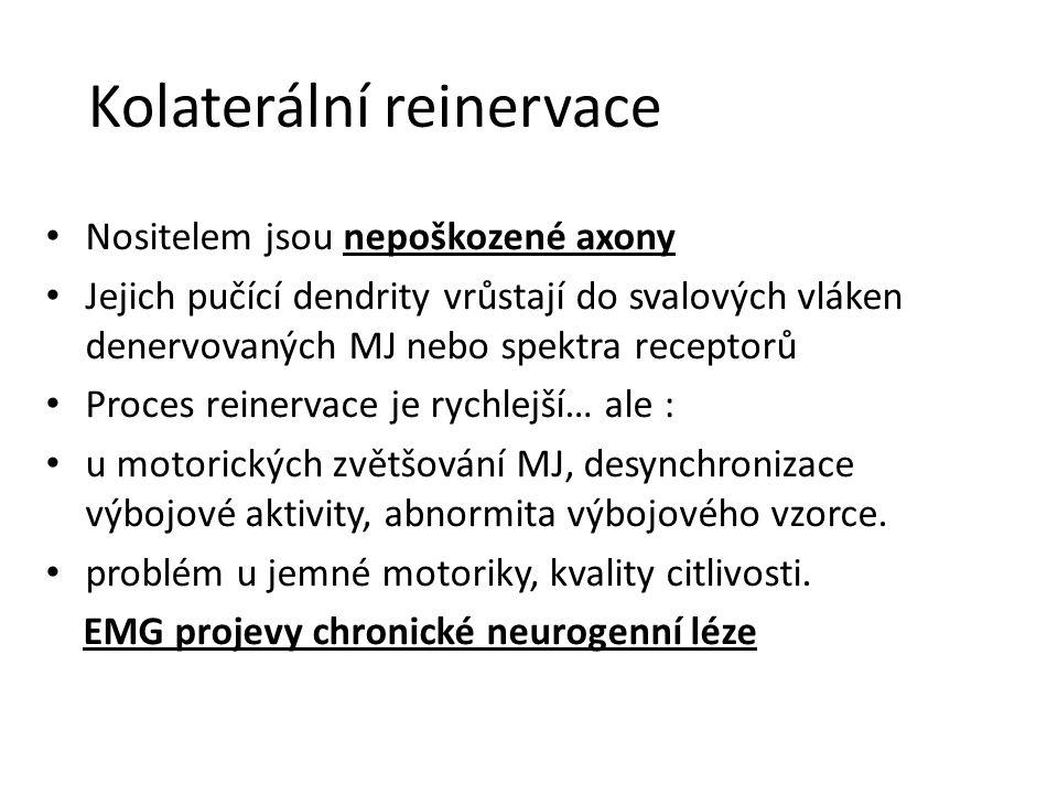 Kolaterální reinervace Nositelem jsou nepoškozené axony Jejich pučící dendrity vrůstají do svalových vláken denervovaných MJ nebo spektra receptorů Pr