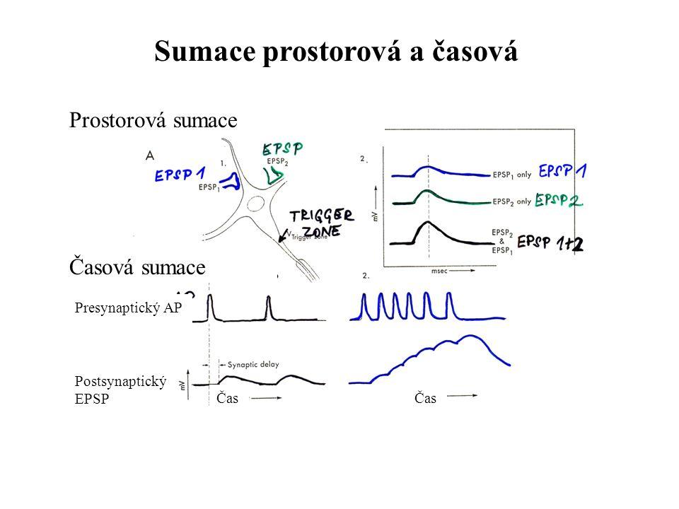 Sumace prostorová a časová Prostorová sumace Časová sumace Presynaptický AP Postsynaptický EPSP Čas