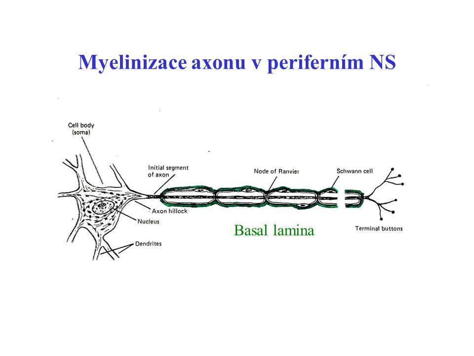 Myelinizace axonu v periferním NS Basal lamina