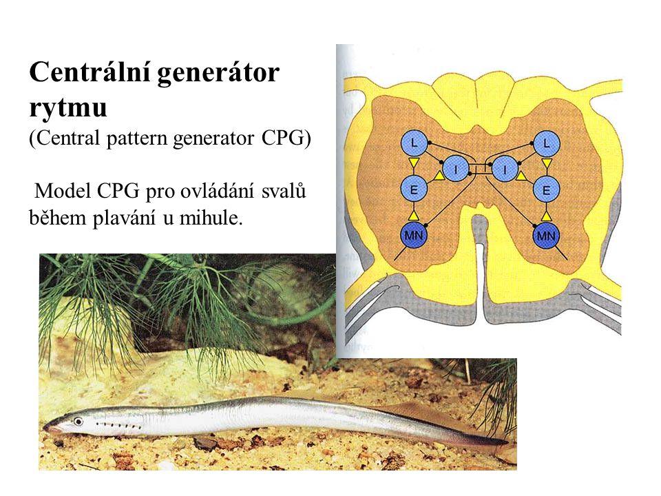 Centrální generátor rytmu (Central pattern generator CPG) Model CPG pro ovládání svalů během plavání u mihule.