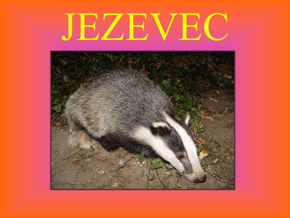JEZEVEC