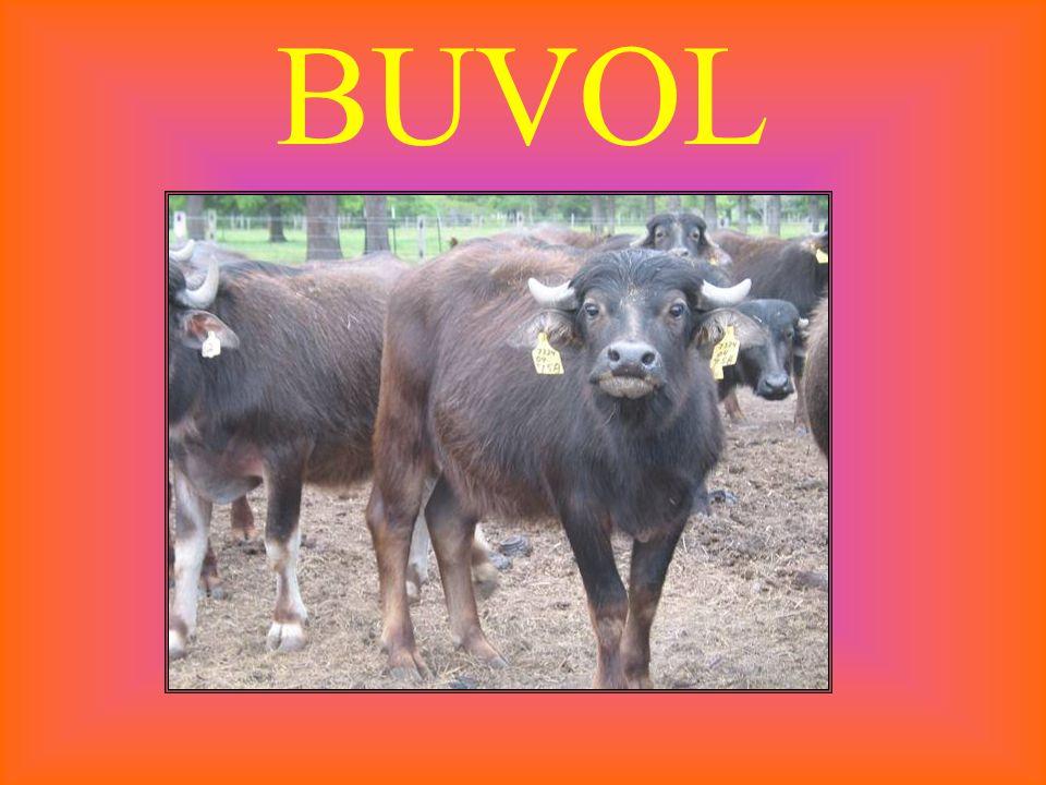 BUVOL