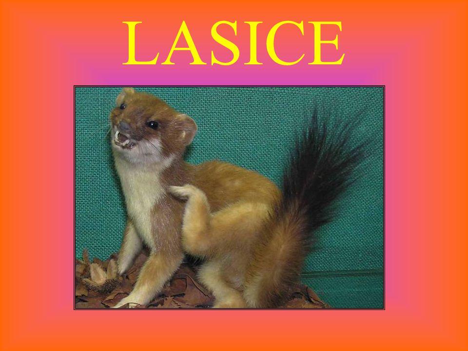LASICE