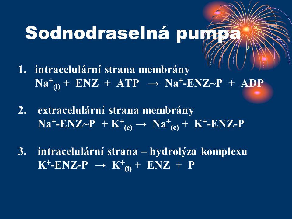 Sodnodraselná pumpa 1. intracelulární strana membrány Na + (i) + ENZ + ATP → Na + -ENZ~P + ADP 2. extracelulární strana membrány Na + -ENZ~P + K + (e)