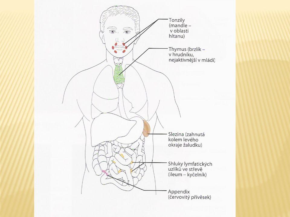  Největší lymfatický orgán  Fce:  Imunitní  Místo rozpadu starých či poškozených erytrocytů  Zásobárna krevních destiček  Slezina není pro život nezbytná