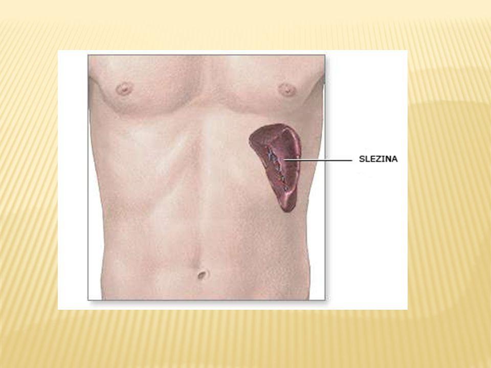  Těsně za hrudní kostí  hlavním orgánem pro diferenciaci a funkční dozrávání T lymfocytů (pouze)  V pozdější fázi dospívání je jeho funkční tkáň nahrazována tukovou- zmenšuje se