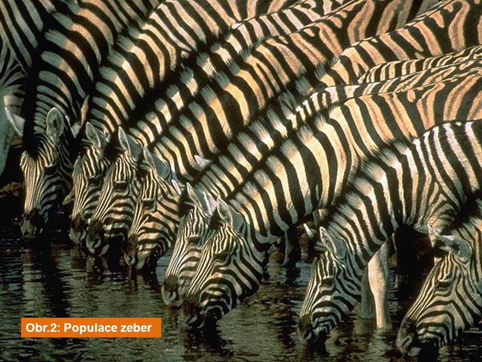 Obr.2: Populace zeber