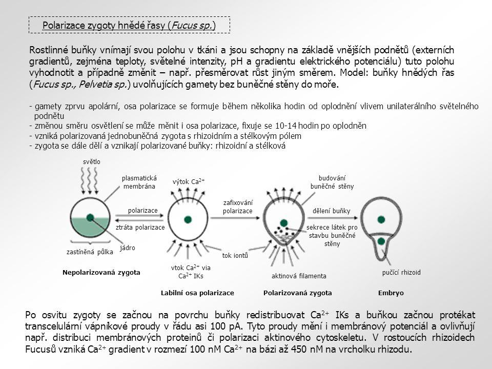 Rostlinné buňky vnímají svou polohu v tkáni a jsou schopny na základě vnějších podnětů (externích gradientů, zejména teploty, světelné intenzity, pH a gradientu elektrického potenciálu) tuto polohu vyhodnotit a případně změnit – např.