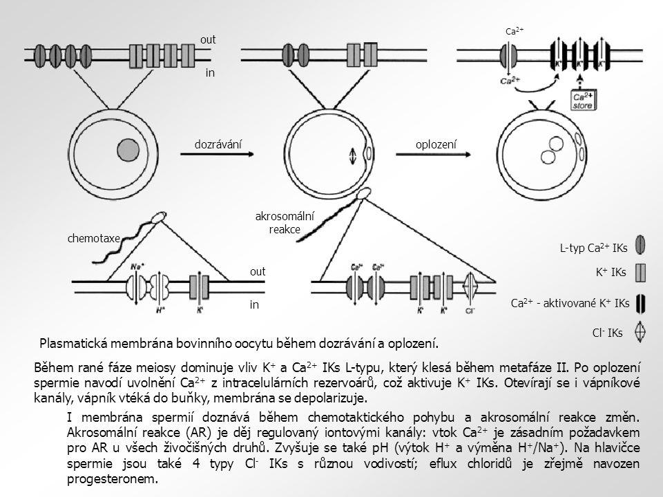 L-typ Ca 2+ IKs K + IKs Ca 2+ - aktivované K + IKs Cl - IKs out in dozráváníoplození chemotaxe akrosomální reakce Ca 2+ Během rané fáze meiosy dominuje vliv K + a Ca 2+ IKs L-typu, který klesá během metafáze II.
