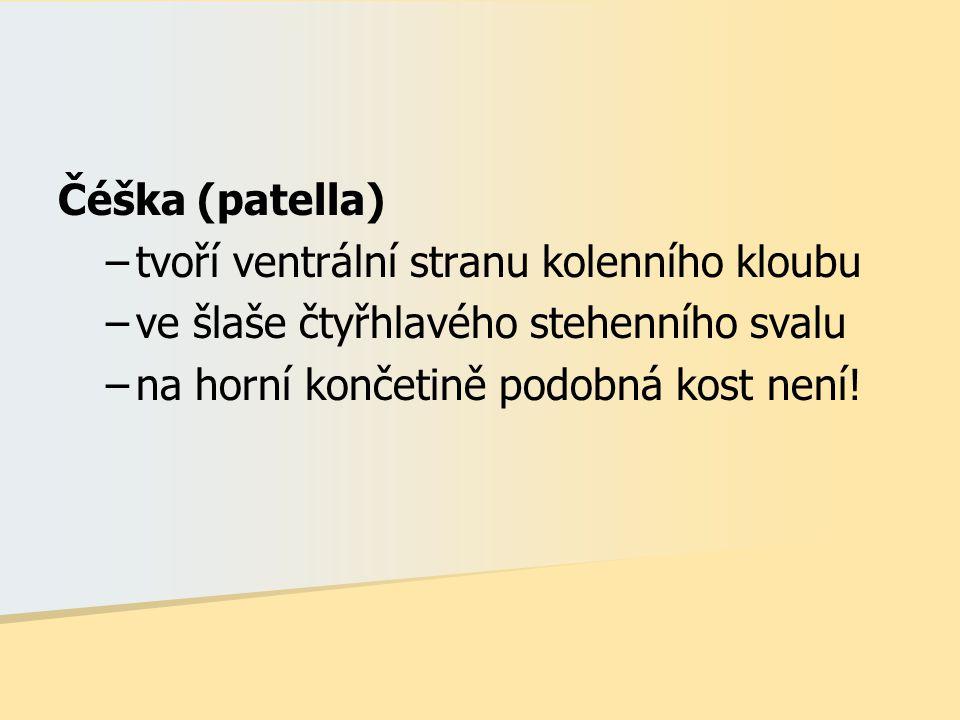 Čéška (patella) –tvoří ventrální stranu kolenního kloubu –ve šlaše čtyřhlavého stehenního svalu –na horní končetině podobná kost není!