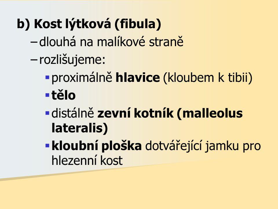 b) Kost lýtková (fibula) –dlouhá na malíkové straně –rozlišujeme:  proximálně hlavice (kloubem k tibii)  tělo  distálně zevní kotník (malleolus lat