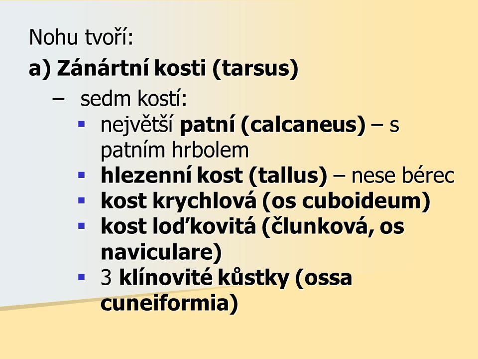 Nohu tvoří: a) Zánártní kosti (tarsus) –sedm kostí:  největší patní (calcaneus) – s patním hrbolem  hlezenní kost (tallus) – nese bérec  kost krych