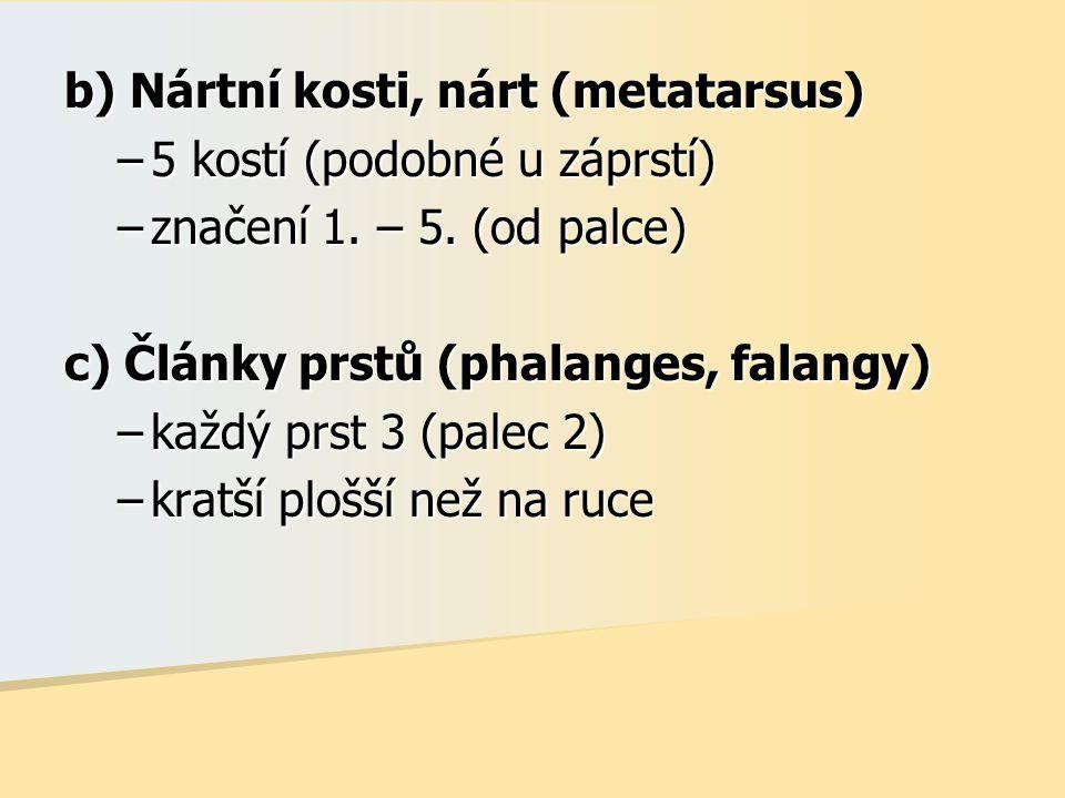 b) Nártní kosti, nárt (metatarsus) –5 kostí (podobné u záprstí) –značení 1. – 5. (od palce) c) Články prstů (phalanges, falangy) –každý prst 3 (palec