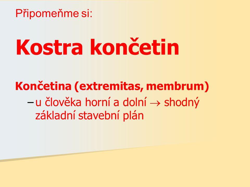 Kostra končetin Končetina (extremitas, membrum) –u člověka horní a dolní  shodný základní stavební plán Připomeňme si: