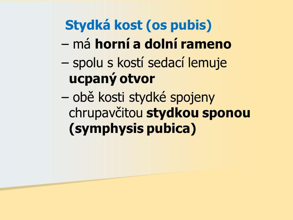 Stydká kost (os pubis) – má horní a dolní rameno – spolu s kostí sedací lemuje ucpaný otvor – obě kosti stydké spojeny chrupavčitou stydkou sponou (sy